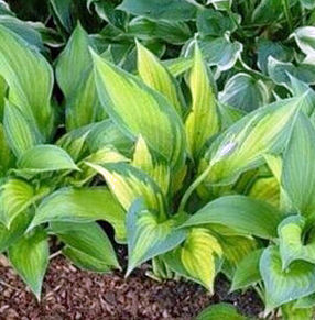 "Hosta x ""Paul's Glory"" Thumbnail"