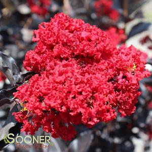 "Lagerstroemia x ""Best Red"" Thumbnail"