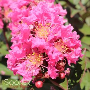 "Lagerstroemia x ""Coral Magic"" Thumbnail"