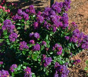 "Lagerstroemia x ""Purple Magic"" Thumbnail"