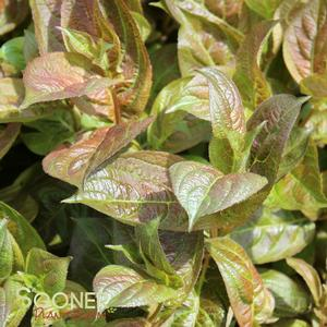 "Weigela florida ""Wings of Fire"" Thumbnail"