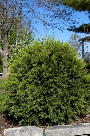"Thuja occidentalis ""Bailjohn"" Thumbnail"