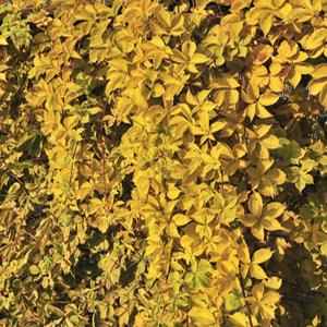 "Parthenocissus quinquefolia ""Yellow Wall"" Thumbnail"