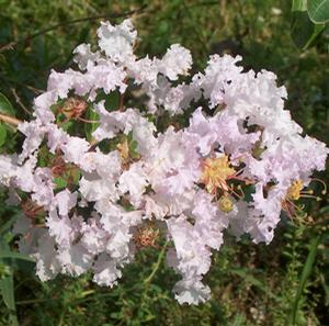 "Lagerstroemia indica ""Lafayette"" Thumbnail"
