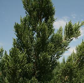 "Juniperus chinensis ""Iowa"" Thumbnail"