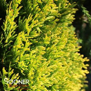 "Thuja occidentalis ""Janed Gold"" Thumbnail"
