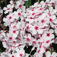 "Phlox paniculata ""Flame White Eye"" Thumbnail"