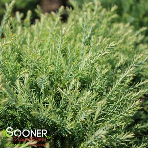 "Thuja occidentalis ""Concesareni"" Thumbnail"