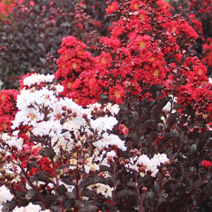 "Lagerstroemia x ""Red and White"" Thumbnail"