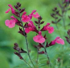 "Salvia greggii ""Wild Thing"" Thumbnail"