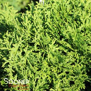 "Thuja occidentalis ""SMNTOBAB"" Thumbnail"