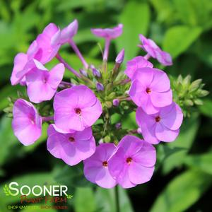"Phlox paniculata ""Fashionably Early Flamingo"" Thumbnail"