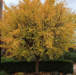 "Ulmus parvifolia ""Golden Ray"" Thumbnail"