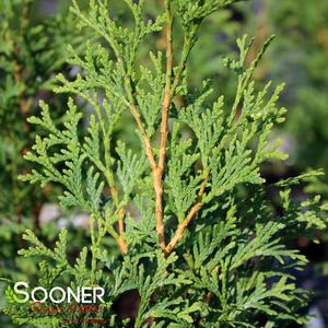 "Thuja occidentalis ""SMTOTM"" Thumbnail"