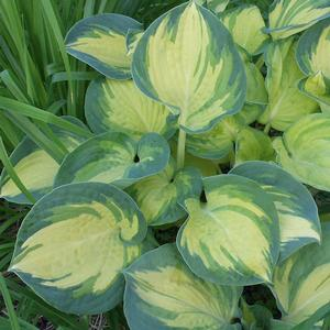 "Hosta x ""Beach Boy"" Thumbnail"