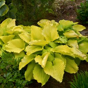 "Hosta x ""Coast to Coast"" Thumbnail"