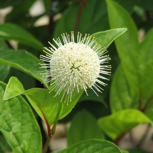 "Cephalanthus occidentalis ""Bailoptics"" Thumbnail"