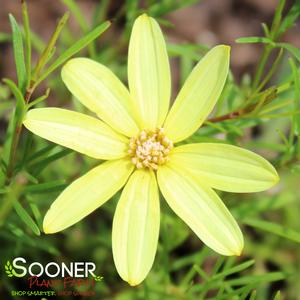 "Coreopsis x ""Moonbeam"" Thumbnail"