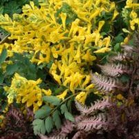 "Corydalis species ""Canary Feathers"" Thumbnail"