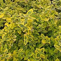 "Euonymus fortunei ""Emerald 'n Gold"" Thumbnail"