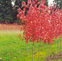 "Acer rubrum ""Fairview Flame"" Thumbnail"