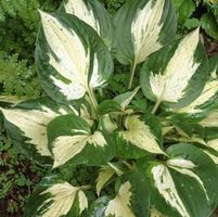 "Hosta x ""Revolution"" Thumbnail"