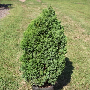 "Thuja occidentalis ""Holmstrup"" Thumbnail"