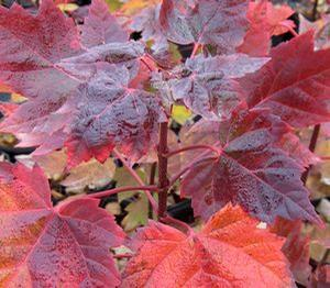 "Acer rubrum ""Red Super Sonic"" Thumbnail"