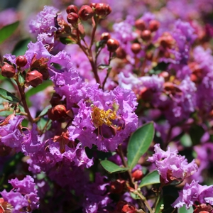 "Lagerstroemia indica ""Violet Filli"" Thumbnail"