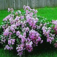 "Lagerstroemia indica ""Orchid Cascade"" Thumbnail"