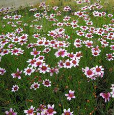 "Coreopsis x ""Sweet Dreams"" Thumbnail"