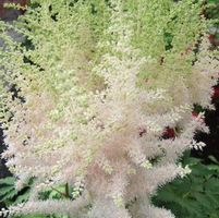 "Astilbe chinensis ""Milk and Honey"" Thumbnail"