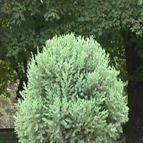 "Juniperus chinensis ""Blue Vase"" Thumbnail"