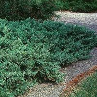 "Juniperus chinensis ""Green Sargent"" Thumbnail"