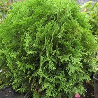 "Thuja occidentalis ""Little Giant"" Thumbnail"