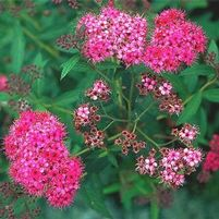 "Spiraea x bumalda ""Anthony Waterer"" Thumbnail"
