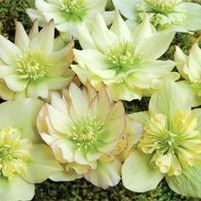 "Helleborus x ""Golden Lotus"" Thumbnail"