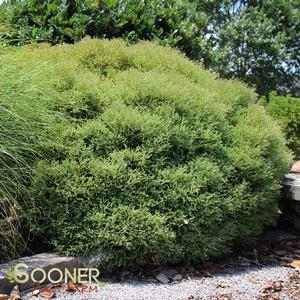 "Thuja occidentalis ""Bobazam"" Thumbnail"