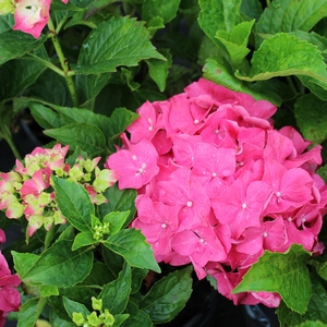 "Hydrangea macrophylla ""Forever Ever Red Sensation"" Thumbnail"