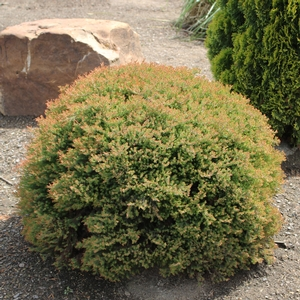 "Thuja occidentalis ""Fire Chief"" Thumbnail"
