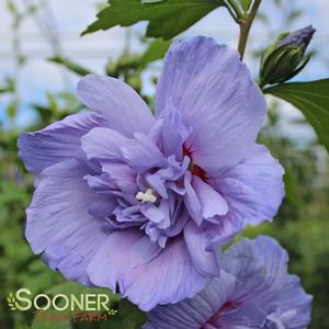 "Hibiscus syriacus ""Notwoodthree"" Thumbnail"