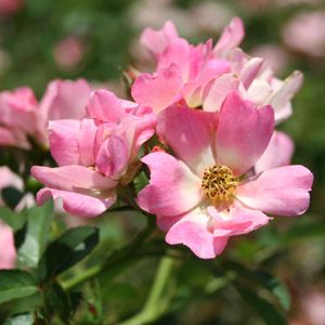 "Rosa species ""MEIjocos"" Thumbnail"