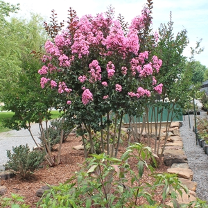 "Lagerstroemia indica ""Rhapsody in Pink"" Thumbnail"