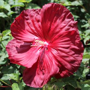 "Hibiscus x moscheutos ""Robert Fleming"" Thumbnail"