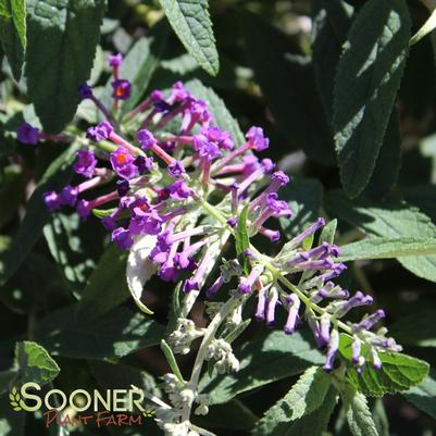 "Buddleia x ""Purple Haze"" Thumbnail"