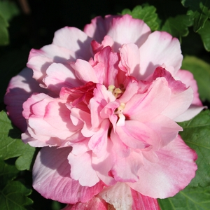 "Hibiscus syriacus ""DS0PS"" Thumbnail"