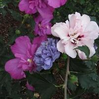 "Hibiscus syriacus ""DS01BS/DSOPS/DSO3RS"" Thumbnail"