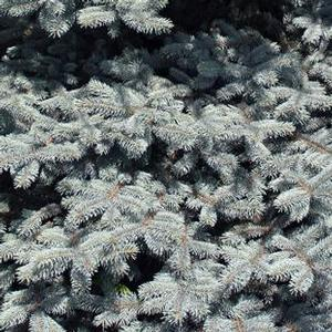 "Picea pungens ""Glauca"" Thumbnail"