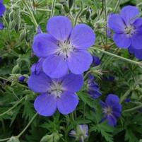 "Geranium x ""Johnson's Blue"" Thumbnail"