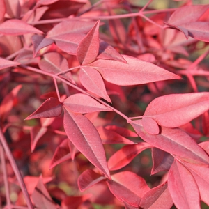 "Nandina domestica ""Heavenly Bamboo"" Thumbnail"